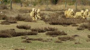 SchafeBanner