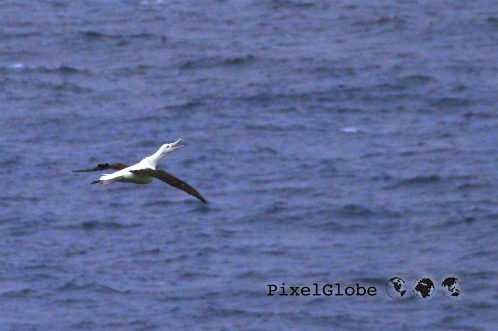 Albatross11