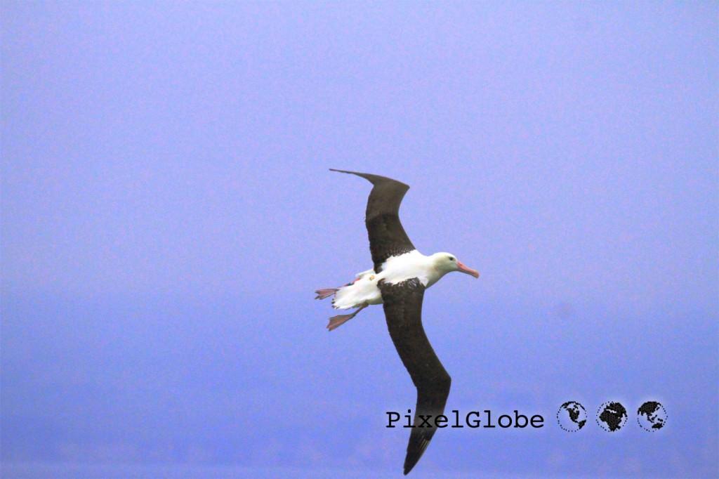 Albatross4
