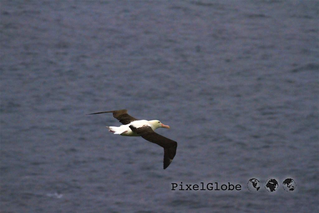 Albatross5