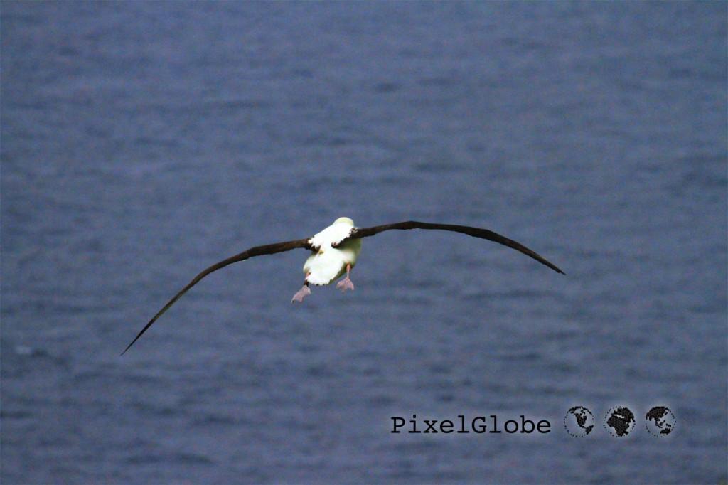 Albatross6