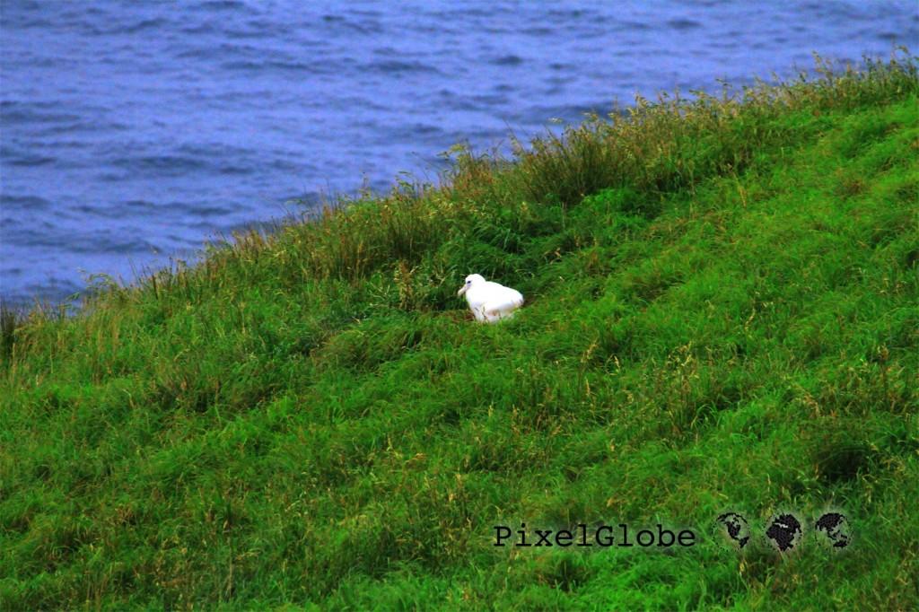 Albatross7
