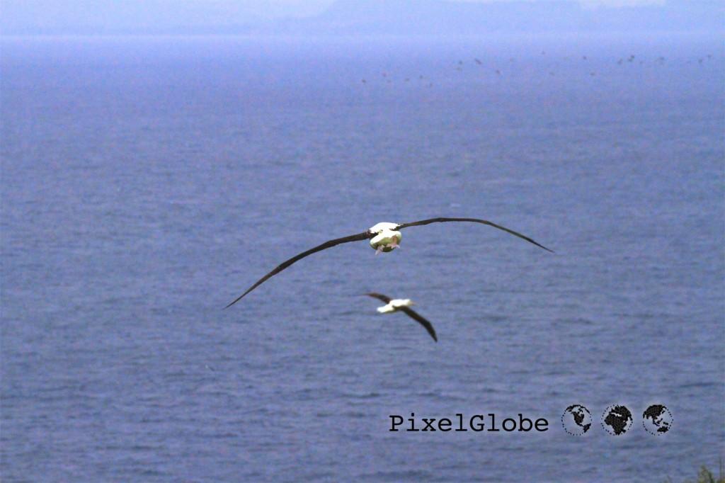 Albatross9