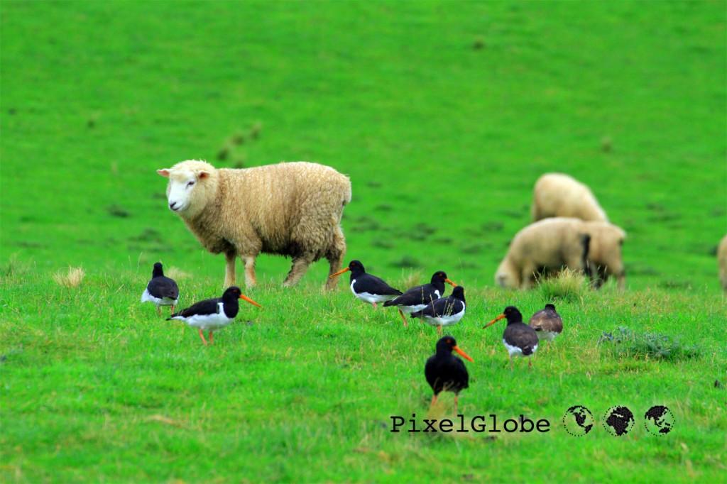 SheepAndOystercatcher