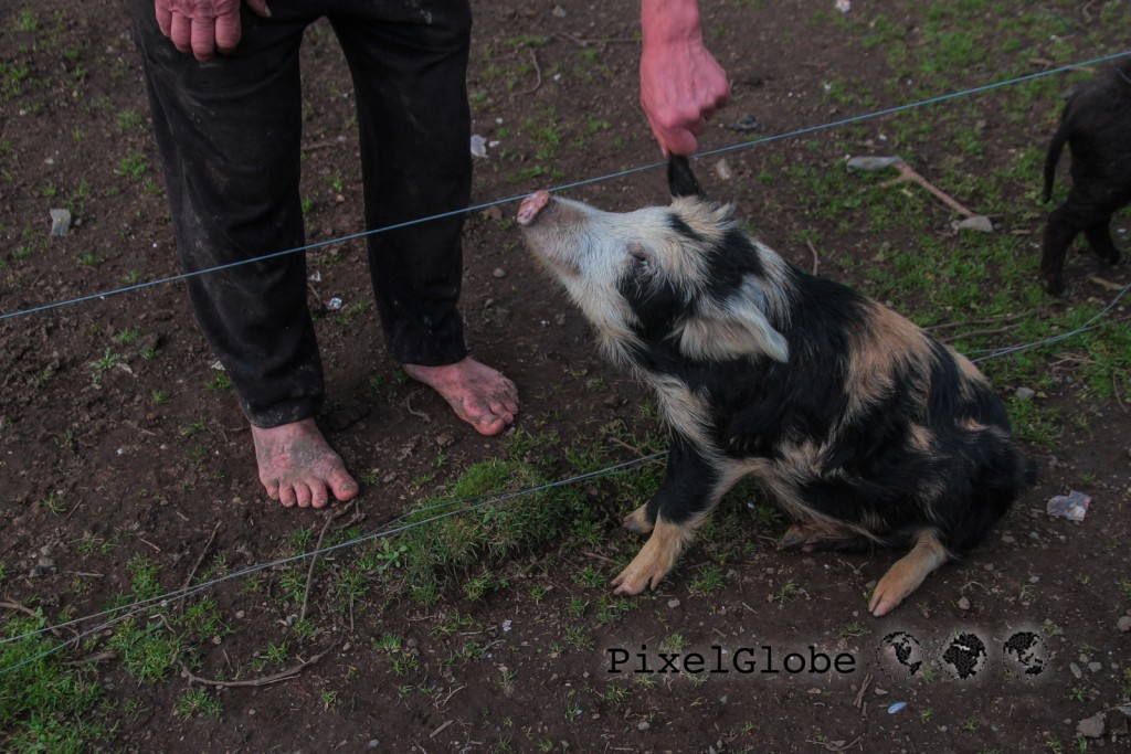Schweine0