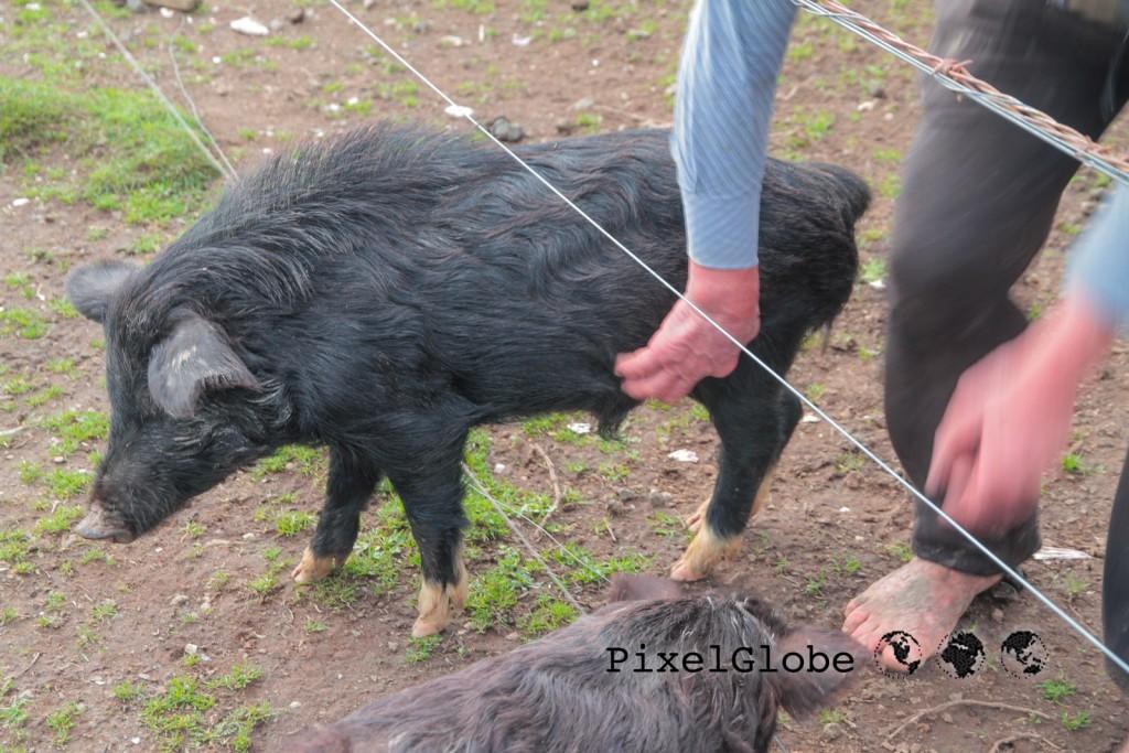 Schweine2